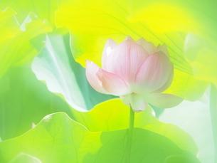 ハスの花の写真素材 [FYI04802916]