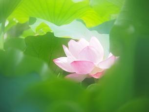 ハスの花の写真素材 [FYI04802918]