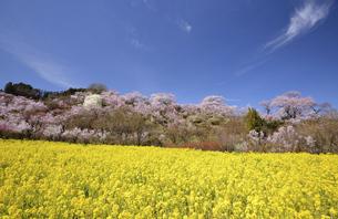 春の花見山風景の写真素材 [FYI04802950]