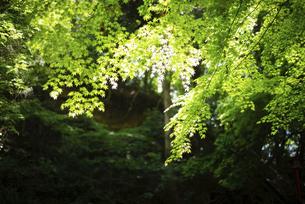 光り輝く新緑の写真素材 [FYI04803009]