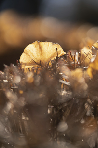 黄金色の落ち葉の写真素材 [FYI04803021]