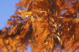 紅葉のメタセコイアの写真素材 [FYI04803088]