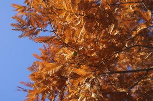 紅葉のメタセコイアの写真素材 [FYI04803089]