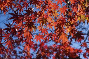 青空に映える紅葉の楓の写真素材 [FYI04803090]