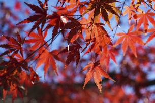 青空に映える紅葉の楓の写真素材 [FYI04803092]