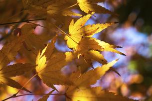 青空に映える紅葉の楓の写真素材 [FYI04803093]
