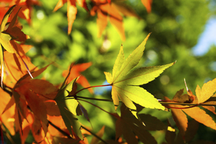青空に映える紅葉の楓の写真素材 [FYI04803094]