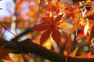 青空に映える紅葉の楓の写真素材 [FYI04803095]