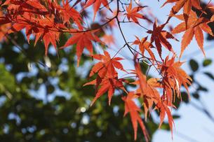青空に映える紅葉の楓の写真素材 [FYI04803096]