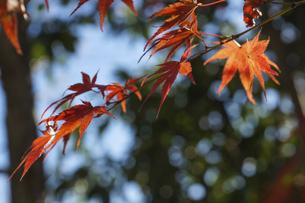 青空に映える紅葉の楓の写真素材 [FYI04803097]