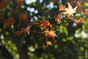 青空に映える紅葉の楓の写真素材 [FYI04803098]