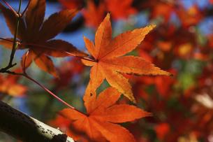 青空に映える紅葉の楓の写真素材 [FYI04803112]