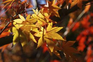 青空に映える紅葉の楓の写真素材 [FYI04803113]