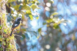 枝にとまるジョウビタキのオスの写真素材 [FYI04803203]