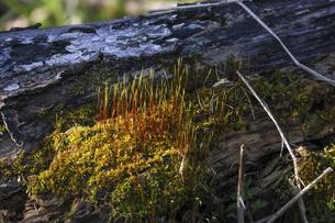 倒木に生えた苔と芽の写真素材 [FYI04803207]