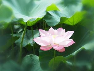 ハスの花の写真素材 [FYI04803258]