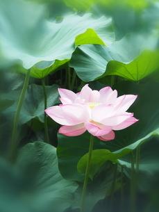 ハスの花の写真素材 [FYI04803260]