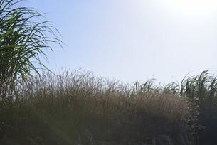 宮古島サトウキビの写真素材 [FYI04803283]