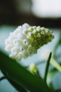 白いムスカリの花のマクロ写真の写真素材 [FYI04803317]