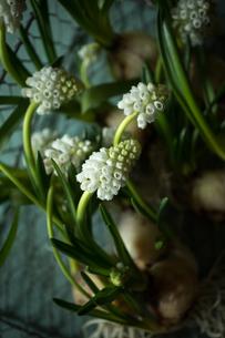 落ち着いた雰囲気の白いムスカリの花の写真素材 [FYI04803318]