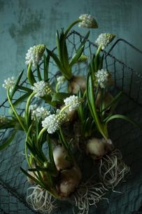 アイアンのカゴにざっくりと入れられた球根付きの白いムスカリの写真素材 [FYI04803319]