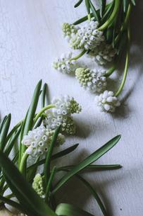 白いムスカリの花の写真素材 [FYI04803536]