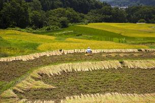 稲の刈取りの写真素材 [FYI04803594]