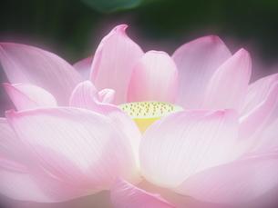 ハスの花の写真素材 [FYI04803733]