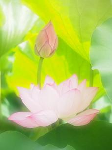 ハスの蕾と花の写真素材 [FYI04803734]