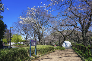 千鳥ヶ淵緑道の桜(江戸城の千鳥ケ淵に沿った緑道)の写真素材 [FYI04803922]