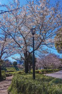 千鳥ヶ淵緑道の桜(江戸城の千鳥ケ淵に沿った緑道)の写真素材 [FYI04803923]