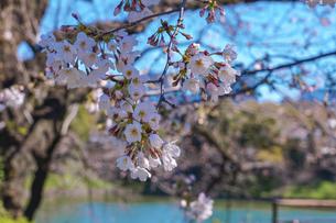 千鳥ヶ淵緑道の桜(江戸城の千鳥ケ淵に沿った緑道)の写真素材 [FYI04803924]