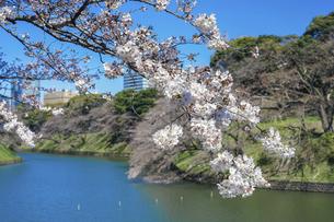 千鳥ヶ淵緑道の桜(江戸城の千鳥ケ淵に沿った緑道)の写真素材 [FYI04803925]