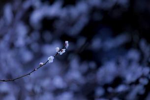 梅の花の写真素材 [FYI04804035]