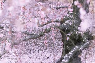 しだれ梅 鈴鹿の森庭園の写真素材 [FYI04804036]