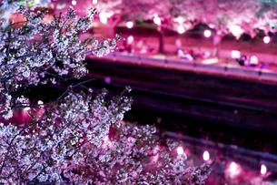 荒子川公園の夜桜 日本 愛知県 名古屋市の写真素材 [FYI04804038]