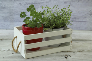 植木鉢に植えたパセリとタイム の写真素材 [FYI04804076]
