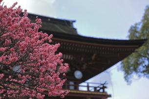 太宰府天満宮境内の満開のピンクの梅の花の写真素材 [FYI04804239]