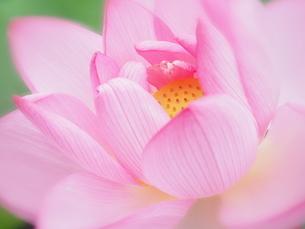 ハスの花の写真素材 [FYI04804296]