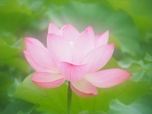 ハスの花の写真素材 [FYI04804304]