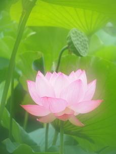 ハスの花の写真素材 [FYI04804305]