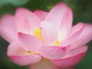 ハスの花の写真素材 [FYI04804306]