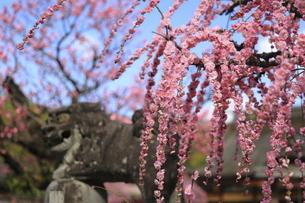 ピンクのしだれ梅の花と狛犬の写真素材 [FYI04804311]