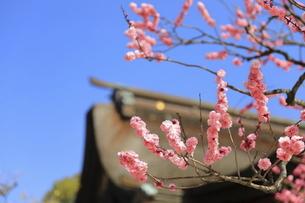 青空に映えるピンクの梅の花の写真素材 [FYI04804321]