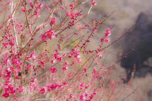 関東の紅梅の花の写真素材 [FYI04804377]