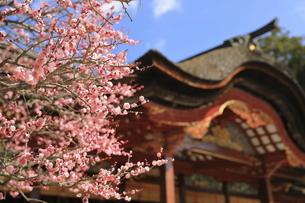 ピンクの梅の花と太宰府天満宮本殿の写真素材 [FYI04804388]