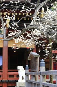 太宰府天満宮の境内に咲く白梅と狛犬の写真素材 [FYI04804391]