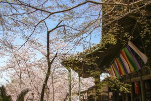古い仏堂と満開の桜の写真素材 [FYI04804520]