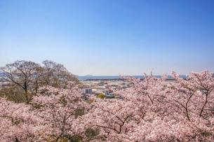 満開の桜と海辺の街の写真素材 [FYI04804521]