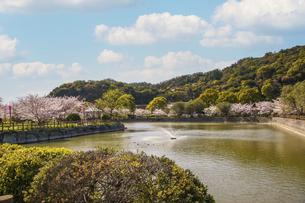 桜の花に彩られた春の公園の写真素材 [FYI04804525]